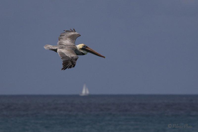 _O1A3603 (Brown Pelican)