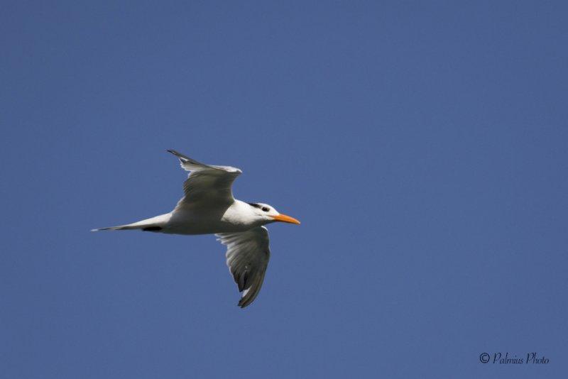 _O1A3651 (The royal tern (Thalasseus maximus))