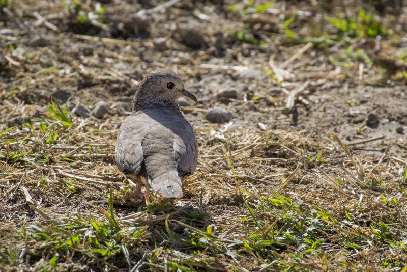 _O1A3729 (Common ground dove)