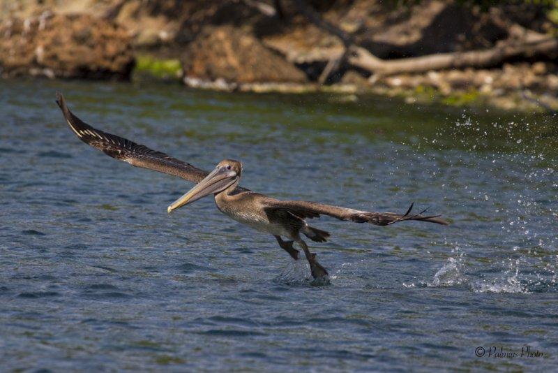 _O1A3948 (Brown Pelican)