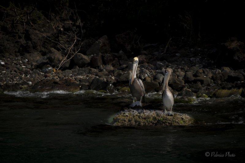 _O1A3980 (Brown Pelican)