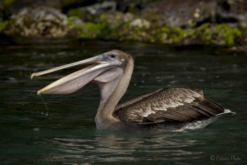 _O1A4023 (Brown Pelican)