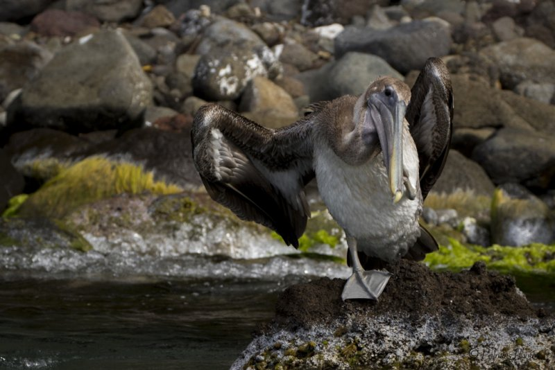 _O1A4030 (Brown Pelican)