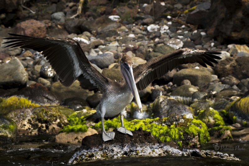 _O1A4047 (Brown Pelican)