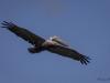 _O1A3733 (Brown Pelican)