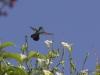 _O1A4834 (Green-throated carib)