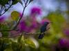 _O1A4902 (Green-throated carib)