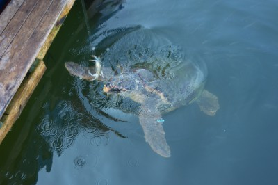 Turtles also like crabs